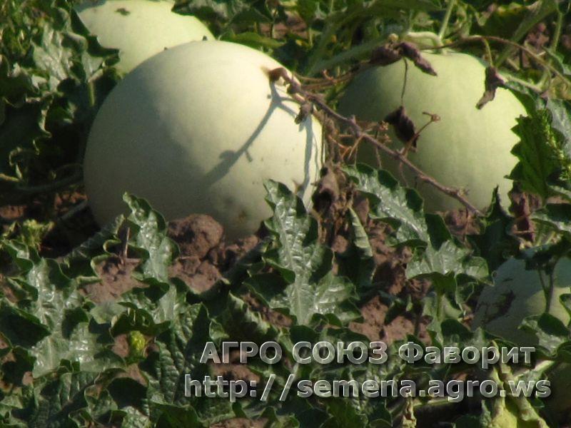arbuz-tselnolistniy1
