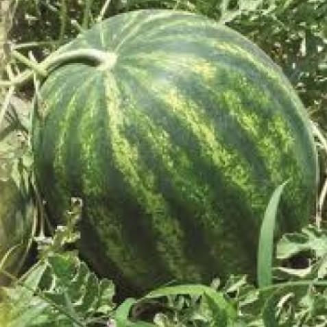 Семена арбуза ГАЛАКТИКА