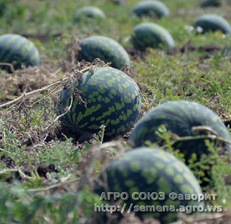 arbuz-holodok
