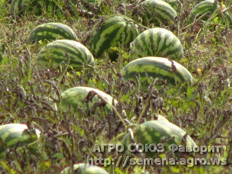 arbuz-krimson2