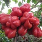 Семена помидора Лотарингская красавица
